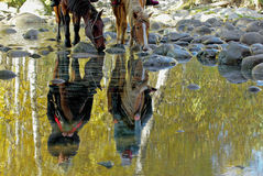 Reflection of Horses drinking Royalty Free Stock Image
