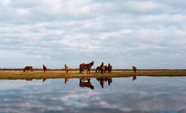 Reflection of horses in the water. In Mazandaran , Iran during automn Royalty Free Stock Photos