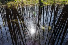 Reflection in lake of forest. tree trunks without leaves stock photo