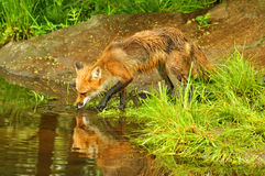 Reflection of a lone red fox drinking water Stock Photography