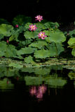 Reflection of Lotus Stock Photo