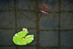 Reflection with lotus leaf and fish Stock Images