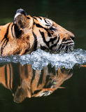 REFLECTION OF MALAYAN TIGER Stock Photography