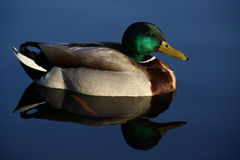 Reflection of the mallard. On the calm water-level Stock Photos