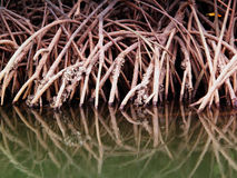 Reflection of mangrove forest Stock Image