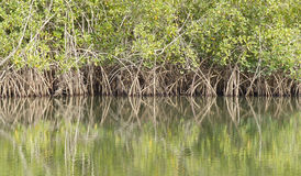 Reflection - mangroves. Mangrove trees on an inlet of the River Gambia Stock Photos