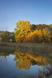 Reflection of maple tree. Stock Image