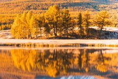 Reflection in the mirror of the lake trees yellow poplar grove. Autumn Sunny weather Royalty Free Stock Photos
