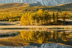 Reflection in the mirror of the lake trees yellow poplar grove. Autumn Sunny weather Stock Photos