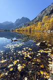 Reflection of Mountains, Aspens, and Duck Royalty Free Stock Image