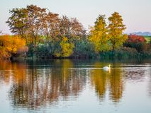 The reflection of multicolored autumn trees in a river on which the white swan floats_. The reflection of multicolored autumn trees in a river on which the white royalty free stock photos