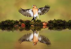 Free Reflection Of A Common Chaffinch With Open Wings Royalty Free Stock Photos - 153748828