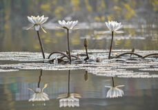Free Reflection Of Blooming Lotus Flower In Pond With Leaves Floating In Pond. Royalty Free Stock Photos - 207784358