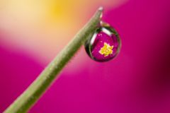 Reflection Of Primrose In Dew Drop Stock Images