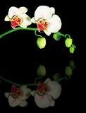 Reflection of orchids. A reflection of white orchids isolated on black Stock Photos