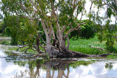 Reflection of a paperbark tree in lagoon stock photo