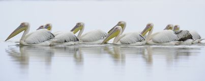 Reflection of pelicans Royalty Free Stock Photo