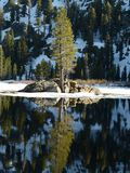 Reflection of pine tree Stock Photography