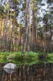 Reflection of pine trees in the calm lake Stock Photo