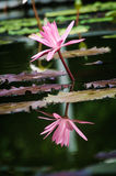 Beautiful pink water-lily or lotus in the pond. Close-up of beautiful pink water-lily or lotus and its reflection on water in the pond Stock Photography