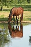 Reflection in the pond. Horse drinking out of pond with his reflection Stock Photos