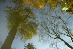 Reflection in the pond's surface is a large tree with green foliage, and naked trunks with flying leaves, several green leaves fl Stock Image
