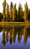 Reflection of poplars Stock Images