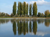 Reflection of poplars Royalty Free Stock Images