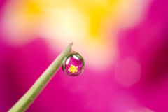 Reflection of primrose in dew drop. A dew drop with a reflection of a primrose behind it Royalty Free Stock Image