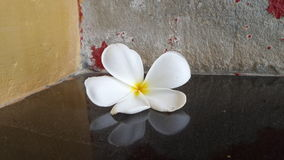 Reflection of Pulmaria flower on the black marble floor Stock Image