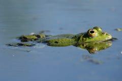Reflection of Rana esculenta. Close-up of green frog Rana esculenta Royalty Free Stock Photo