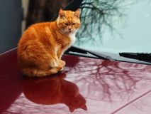 On the car`s hood is still warm, sits the fiery cat stock images