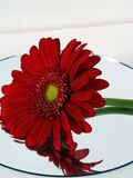 Reflection of red daisy Royalty Free Stock Photo