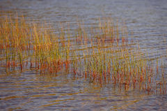 Reflection of reeds Stock Images