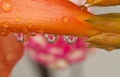 Reflection of rose in water drop Stock Photos