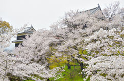 Reflection Sakura trees at Ueda Castle Ruins. Cherry blossom festival at usda castle ruins, Nagano, Japan Royalty Free Stock Images