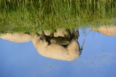 Reflection of sheep in water Royalty Free Stock Photos