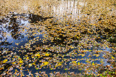 Reflection. A small lake in the forest was covered with autumn leaves Stock Photo