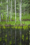 Reflection of small trees in pond. Royalty Free Stock Images