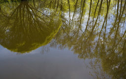 Reflection of spreading willow and poplars in surface of water i Stock Photography