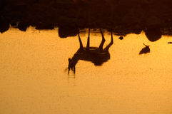 Reflection of a Springbok in the Etosha National Park Stock Photo