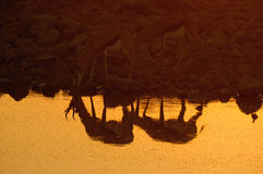 Reflection of Springbok in the Etosha National Park Stock Image