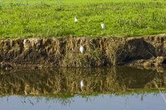 Reflection of storks in water. White storks at water and their reflection Stock Photo