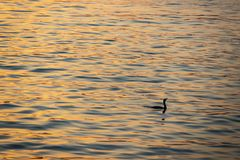 Reflection of the sun in the water and the cormorant in the sea stock photography