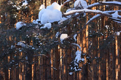 Reflection of sunbeams in pine forest. Reflection of sunbeams in winter pine forest Stock Photos