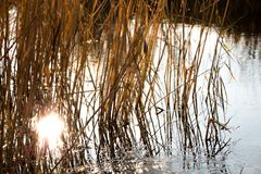The reflection of sunlight from the river in the reeds. Look very nice Royalty Free Stock Images