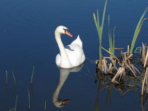 The reflection of the Swan in the water. The reflection of the Swan in the pond water Stock Photography