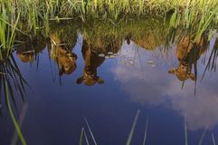 Reflection of three Dutch Cows Royalty Free Stock Images