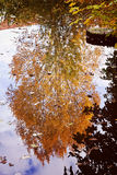 Reflection of a tree with autumnal red leaves on calm lake water Stock Images