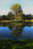 Trees and pond. Reflection of tree in pond Royalty Free Stock Images